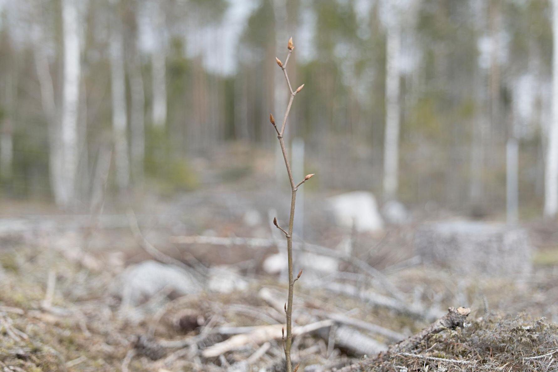 Skogsägaren Lars Forsling satte bok på 14 hektar norr om Västerås. Bokplantorna från Tyskland är stora barrotsplantor.