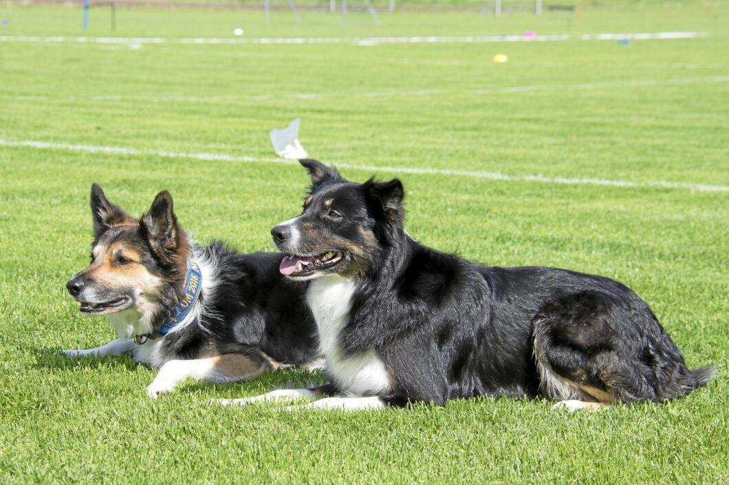Seven och Snipe, båda border collies, är två av hundarna i lydnadslandslaget.