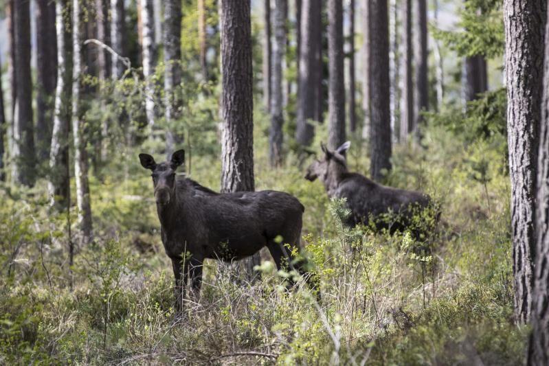 Den svenska älgen nu hamnat på den preliminära listan över nära hotade arter.