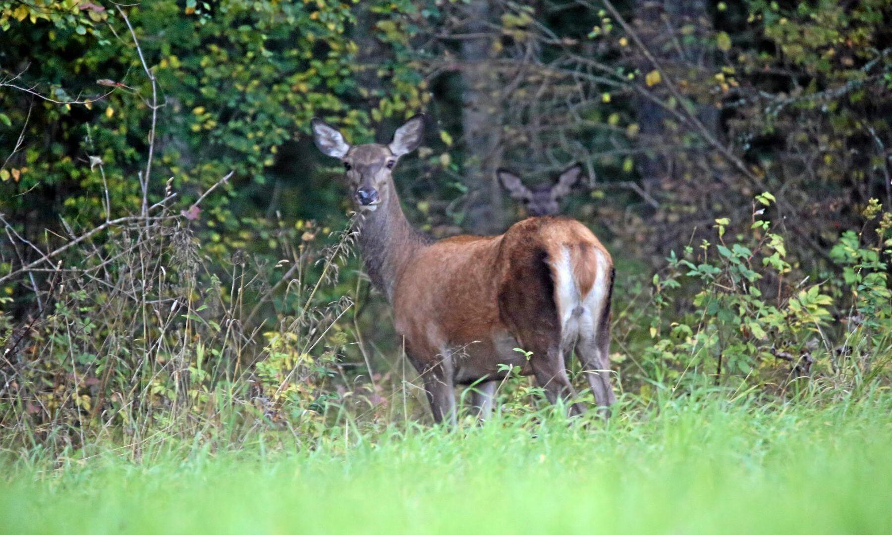 Efter årsskiftet blir det tillåtet med skyddsjakt på kron- och dovhjort som befinner sig på fält med oskördade grödor eller på skogsplanteringar.