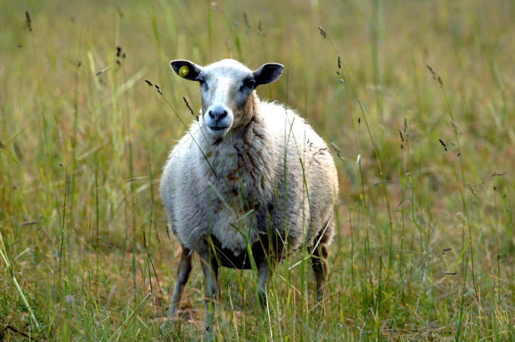 Hårdare djurskyddsregler har gjort att en del djur inte blir godkända för slakt. Då använder sig en ökad andel av svartslakt. Arkivbild.