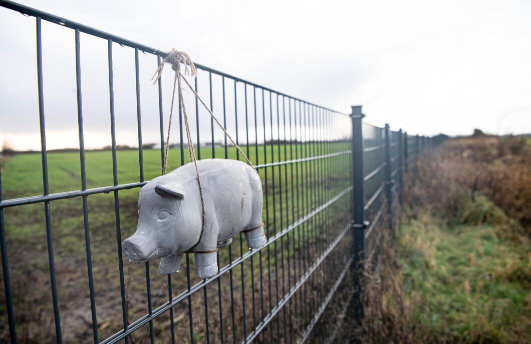 I början på december 2019 monterades den sista biten vildsvinsstängsel mellan Tyskland och Danmark. När afrikansk svinpest nu har konstaterats i Tyskland riskerar även den danska grisindustrin att drabbas.