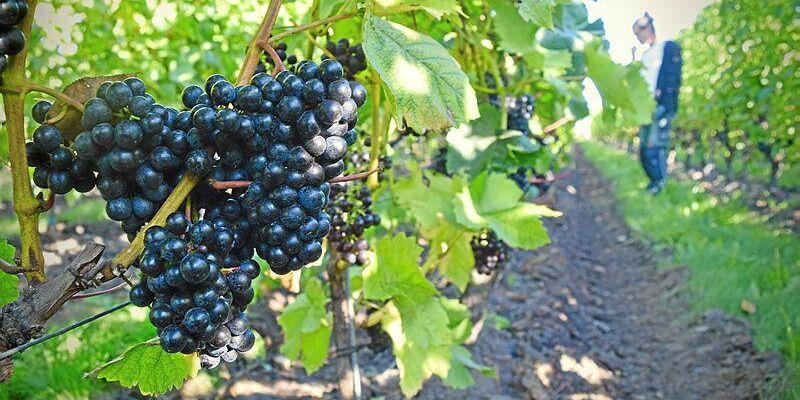 Fortsätter de gynnsamma förhållandena kan svenska vinodlare hoppas på både riklig och tidig skörd. Arkivbild från odling på Österlen i september.