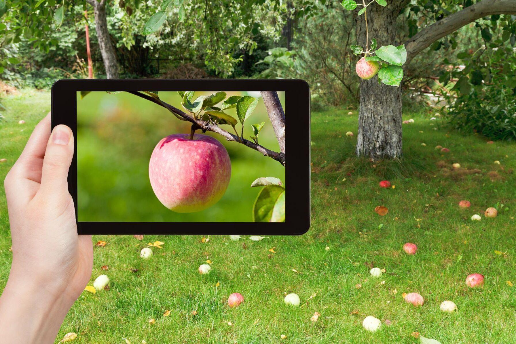 Äpplet faller inte långt från trädet, brukar det heta, men nu vill Apple klimatkompensera för sin verksamhet genom att själva plantera träd.