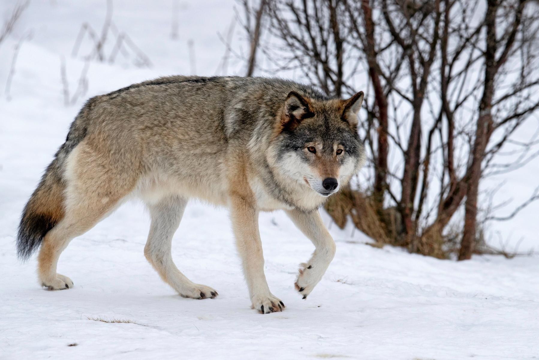 Vargar anses vara genetiskt värdefulla och kommer ursprungligen från reviret i Tiveden i Närke. (Arkivbild)