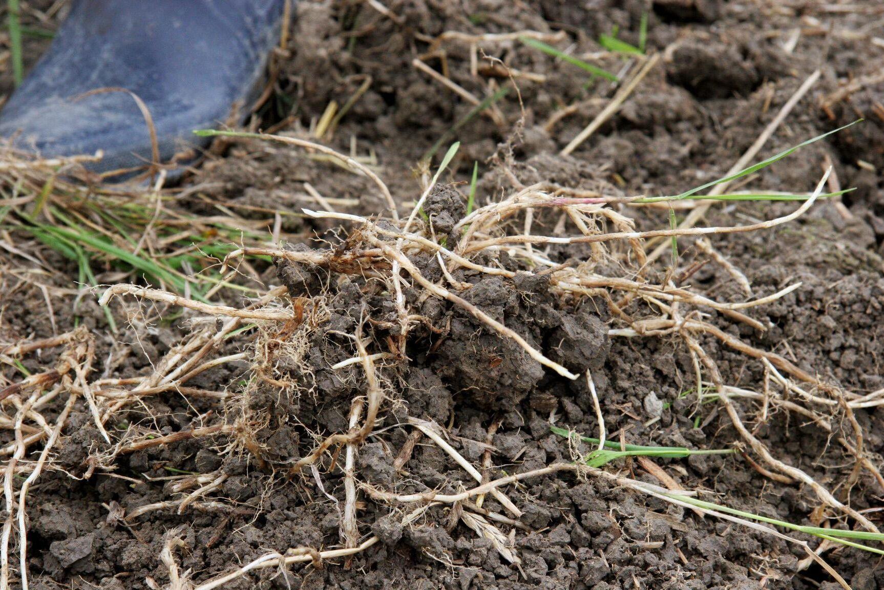 Kvickrot är ett av de ogräs som bekämpas med hjälp av glyfosat.