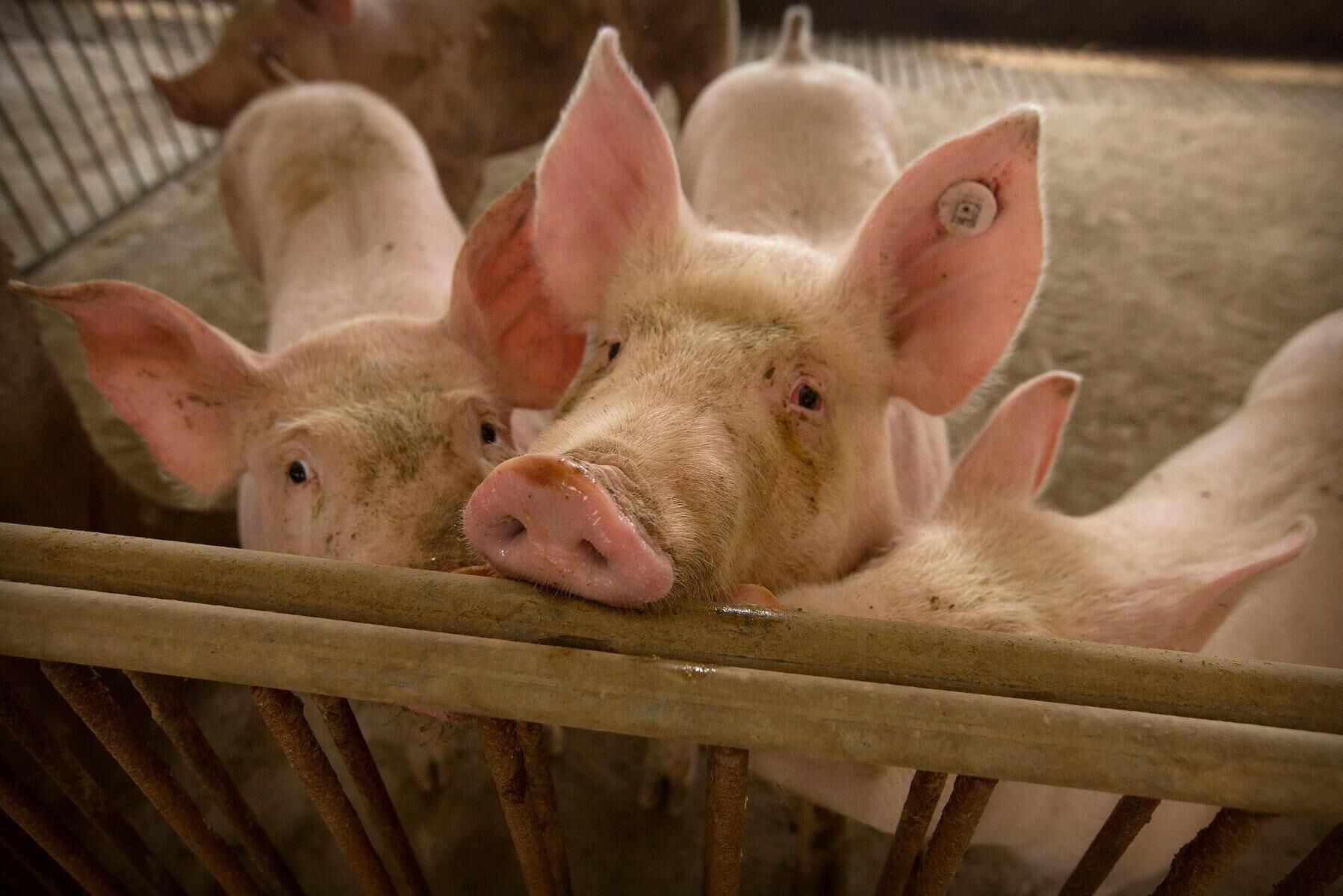 Flera utbrott av afrikansk svinpest har i år rapporterats från Kina. Arkivbild.