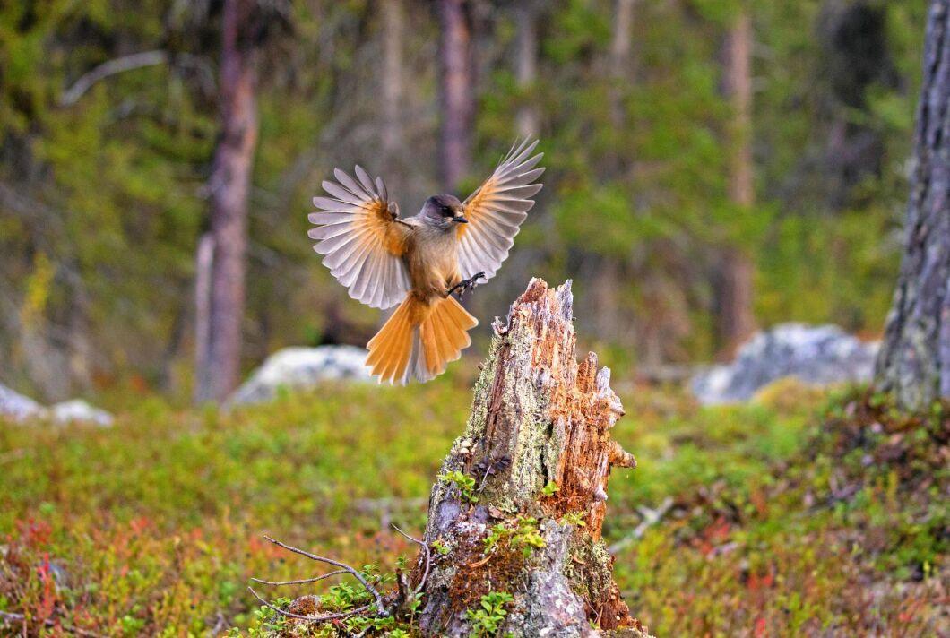 Historien har sin början i Hälsingland där skogsägare förbjudits att avverka sin skog efter att ideella naturvårdare upptäckt att den hotade fågelarten lavskrika haft revir i området.