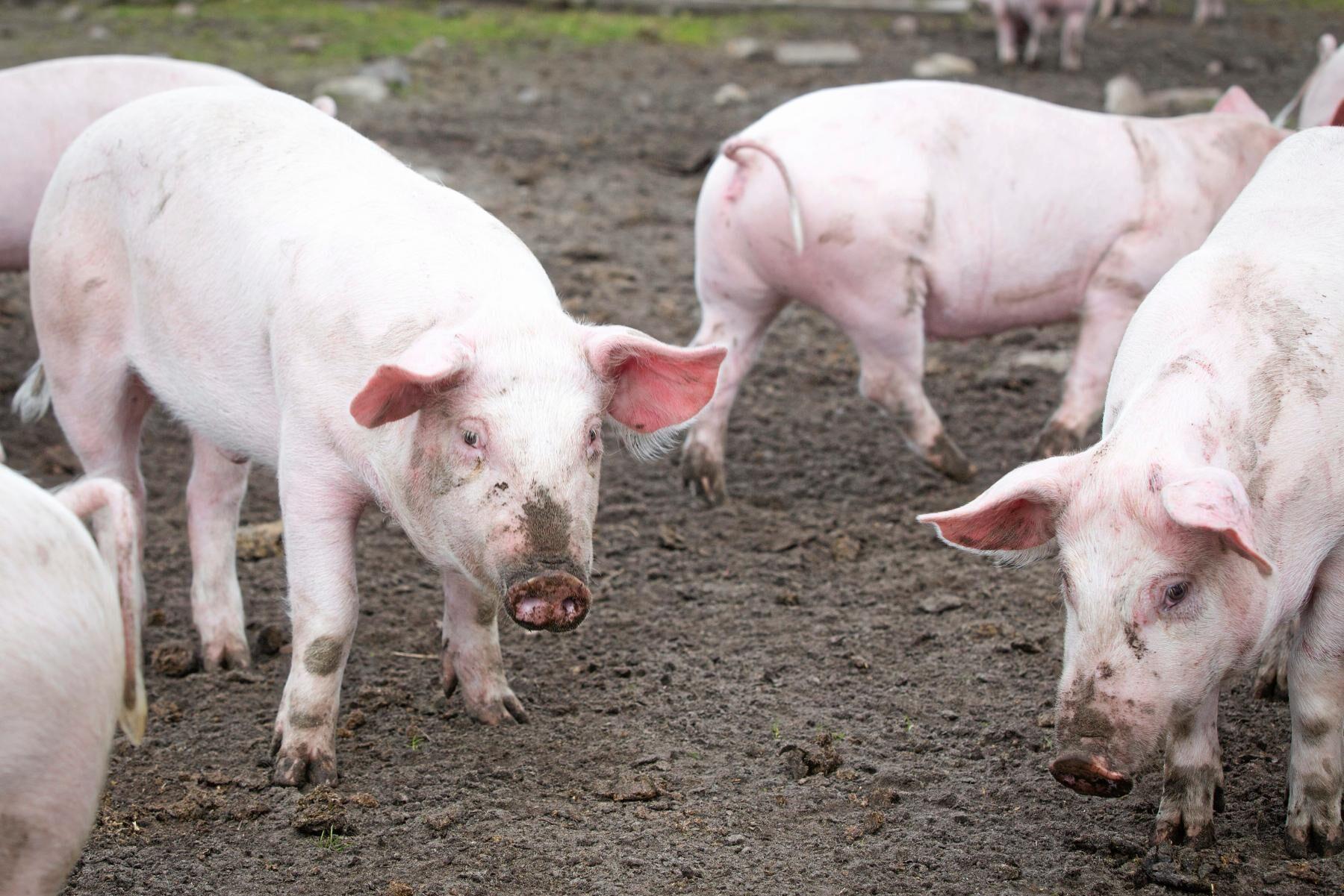 Frigående grisar. Arkivbild.