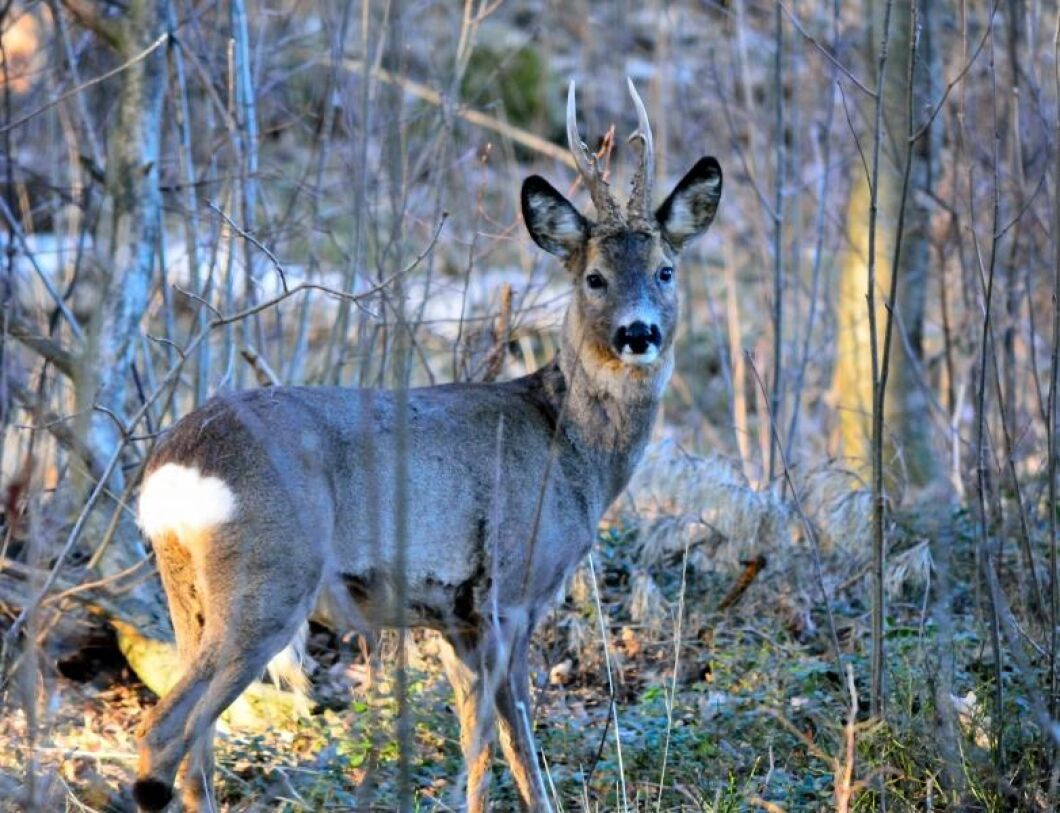 Mellanskog vill se en avskjutning av rådjur på Gotland.