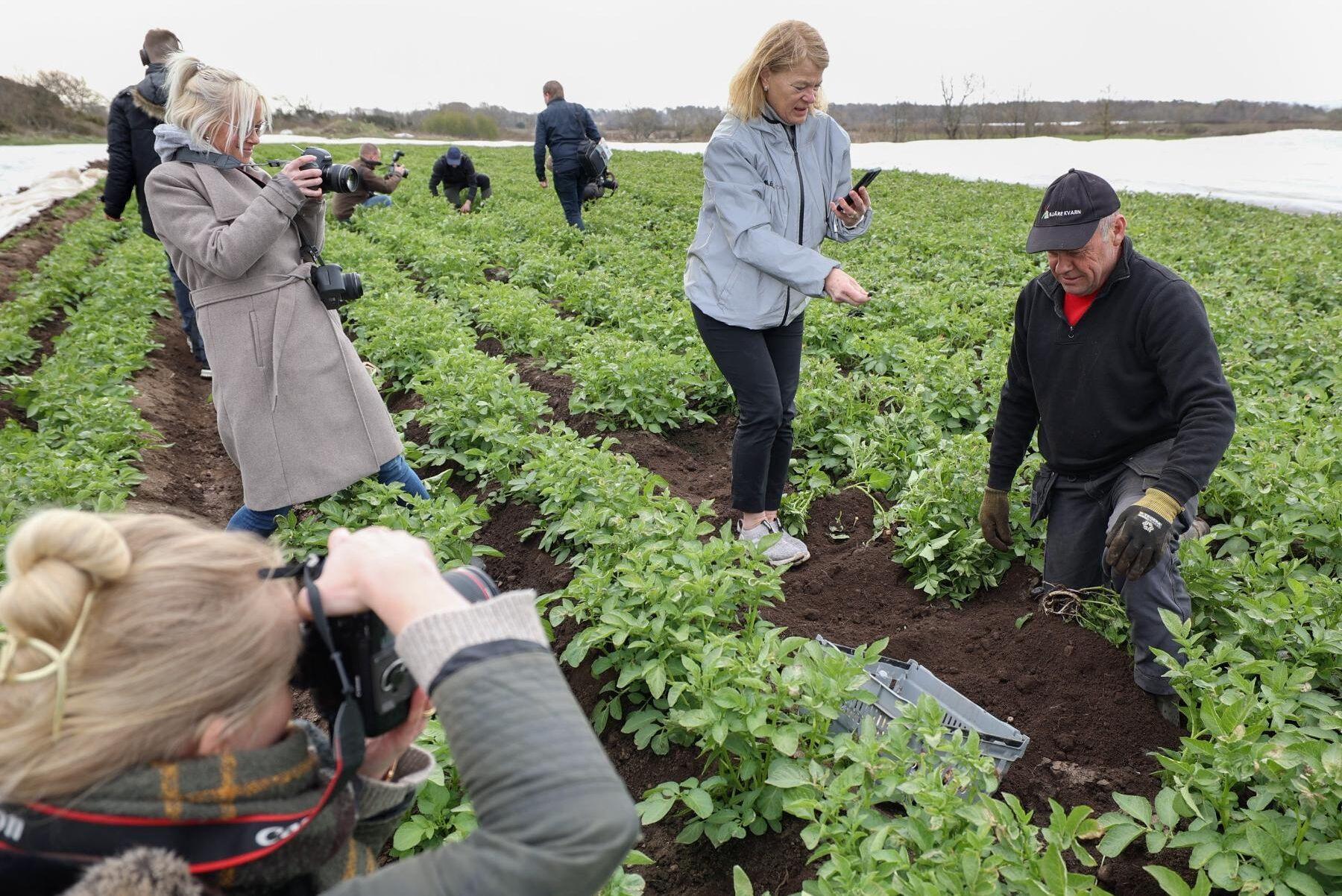 Det är lika stort intresse för de första potatisarna varje år.