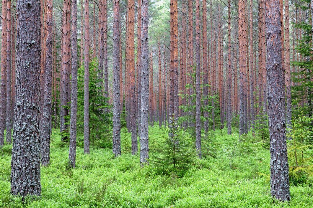 Skogsbruket är framtiden och EU-kommissionen bör ändra inställning, skriver företrädare för MUF.