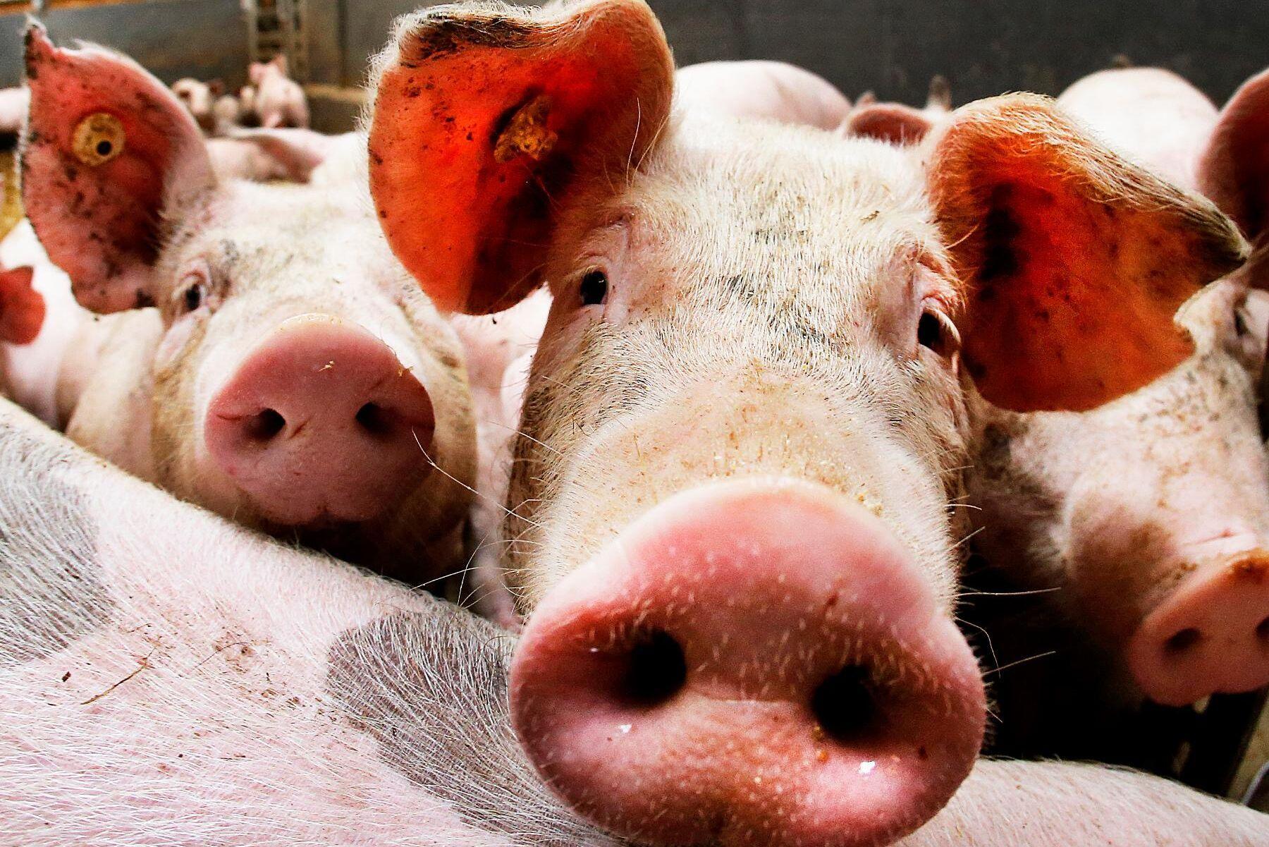 Länsstyrelsen blev varse situationen efter att en tipsare anmält och bifogat bilder på döda grisar. Arkivbild.