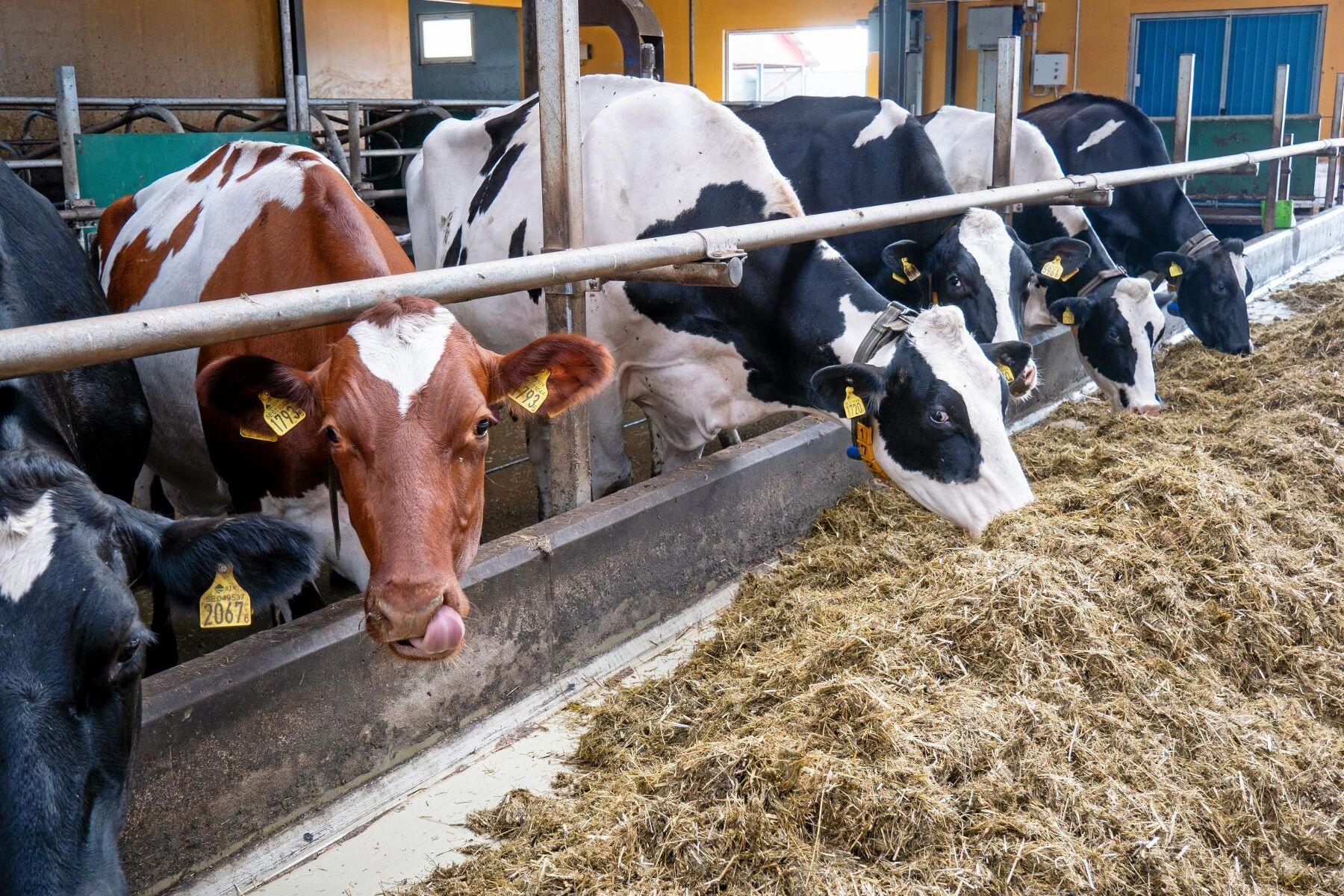 Målet med den nya tekniken är att snabba på provtagningen och effektivisera mjölkproduktionen (Arkivbild).