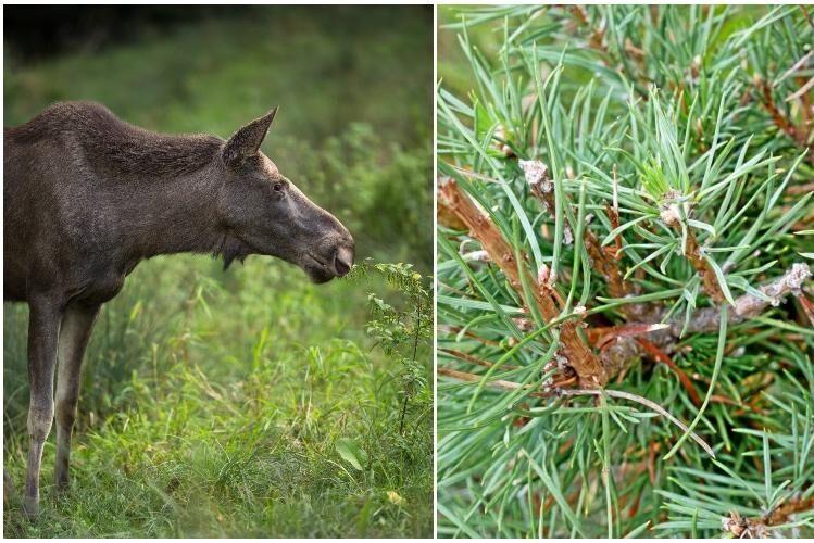 Älgens skador på tallar minskar i Götaland.