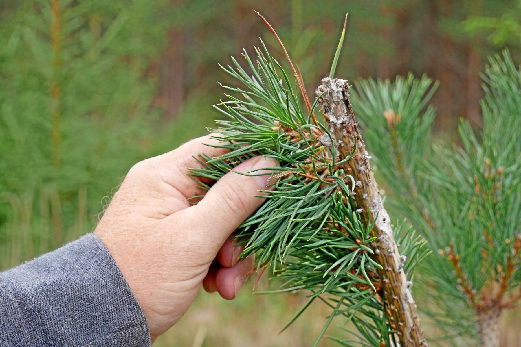 Hjortdjur mumsar på tallarna i oförminskad skala i Svealand och Gävleborgs län. Skadornas värde uppskattas till miljardbelopp varje år, och betestrycket försvårar också en klimatanpassning av skogen.