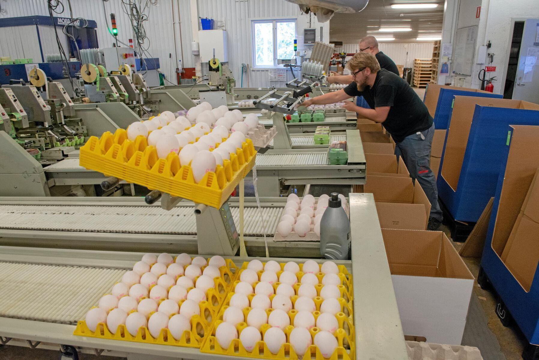 Sju gotländska gårdar levererar äggen som packas av Isak Strängborn och Mattias Stenström på Gotlandsägg. När det inte är turistsäsong åker 90 procent av äggen färja till butiker på fastlandet.
