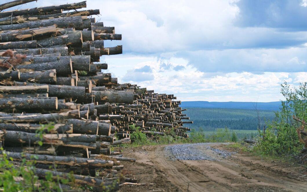 Sveaskog har avverkat drygt 450 hektar av sitt bestånd med contortatallar i Gällivare redan efter 45 år.
