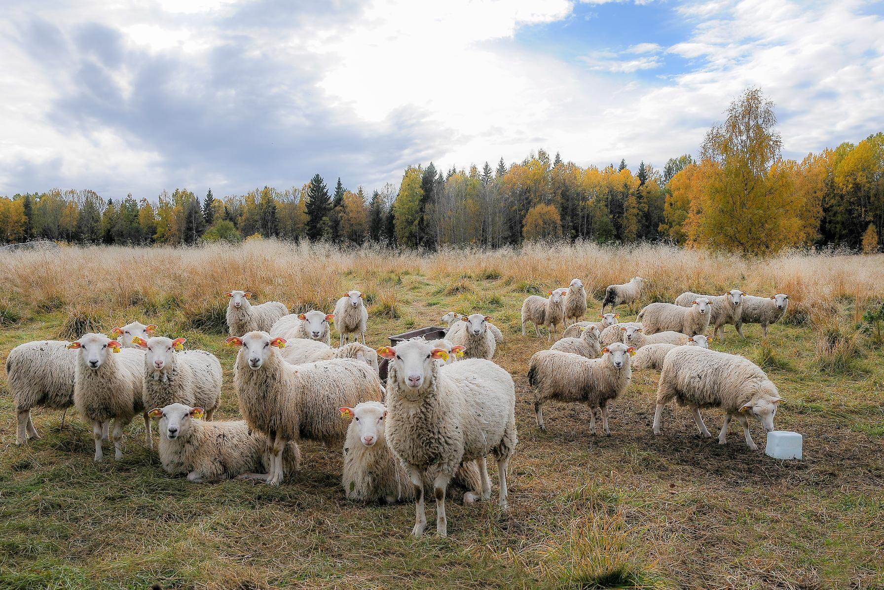Varje år betalar länsstyrelsen ut 2,5 miljoner kronor i ersättning till lantbrukare till följd av rovdjursangrepp.