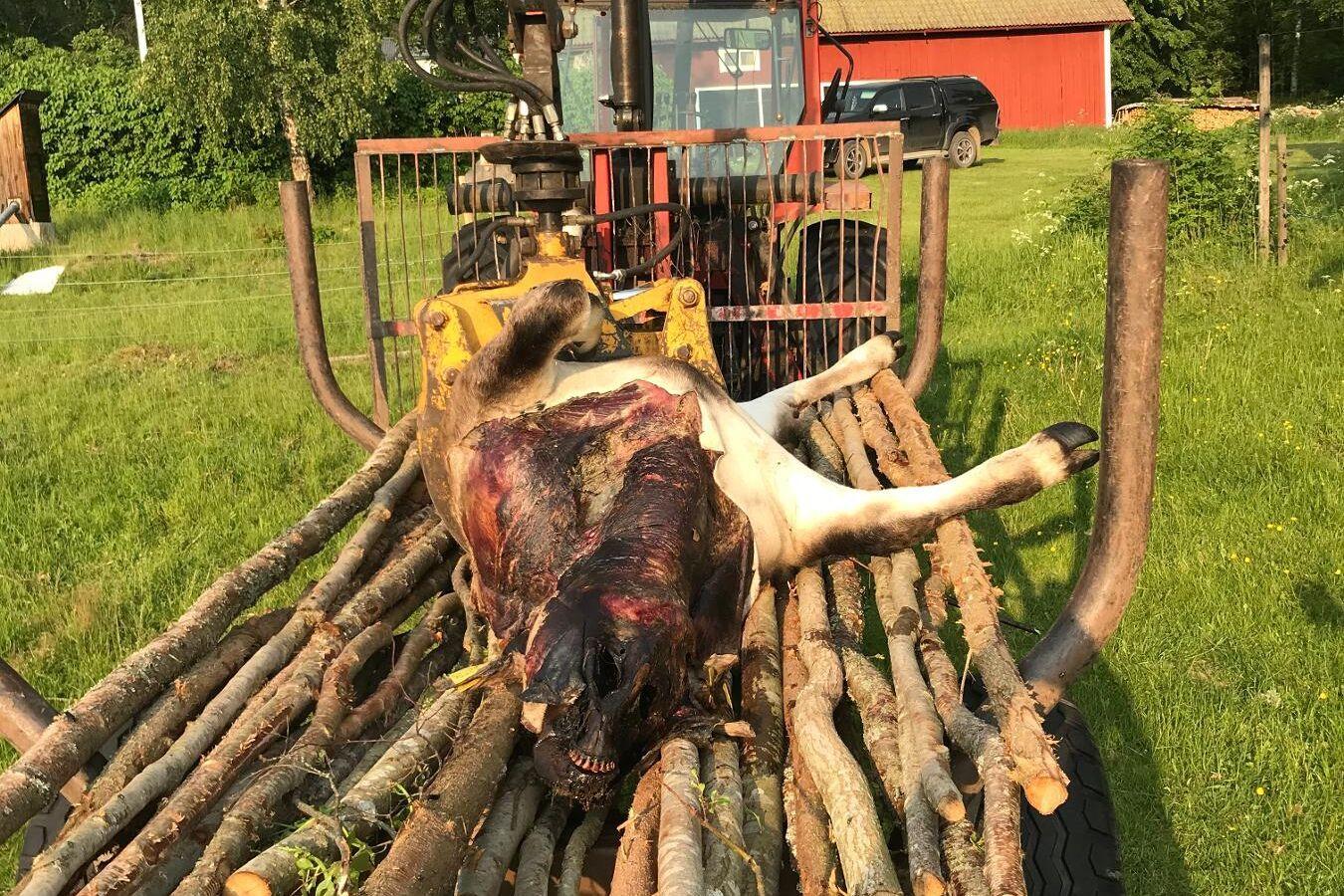 Resten av kvigorna ska, enligt lantbrukaren Mikael Bråtner, ha skrämt bort vargen efter att kvigan blivit attackerad.