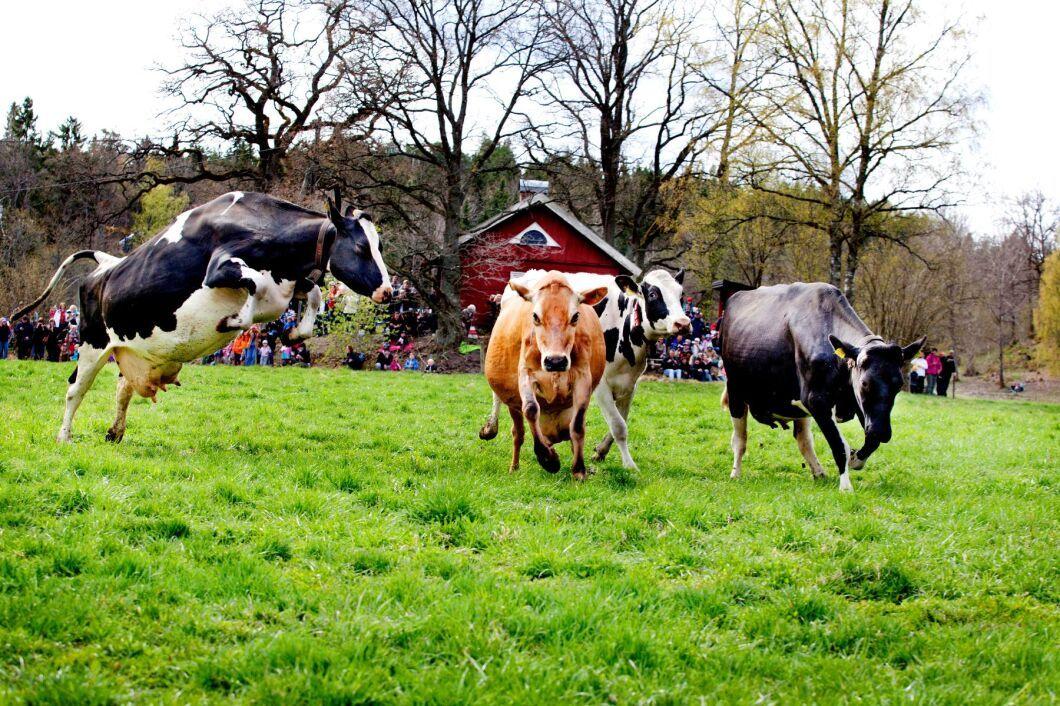 Arkivbild från kosläpp på Björksättra gård i Huddinge.