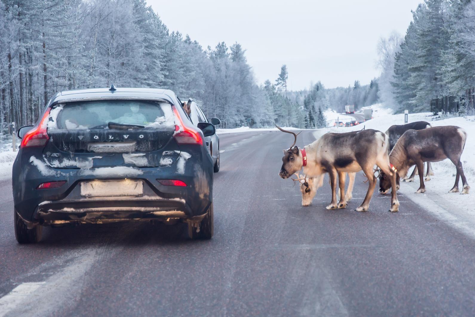 Vägsaltet skapar problem för trafikanter och renhållare då renarna går ut på vägen för att slicka salt.