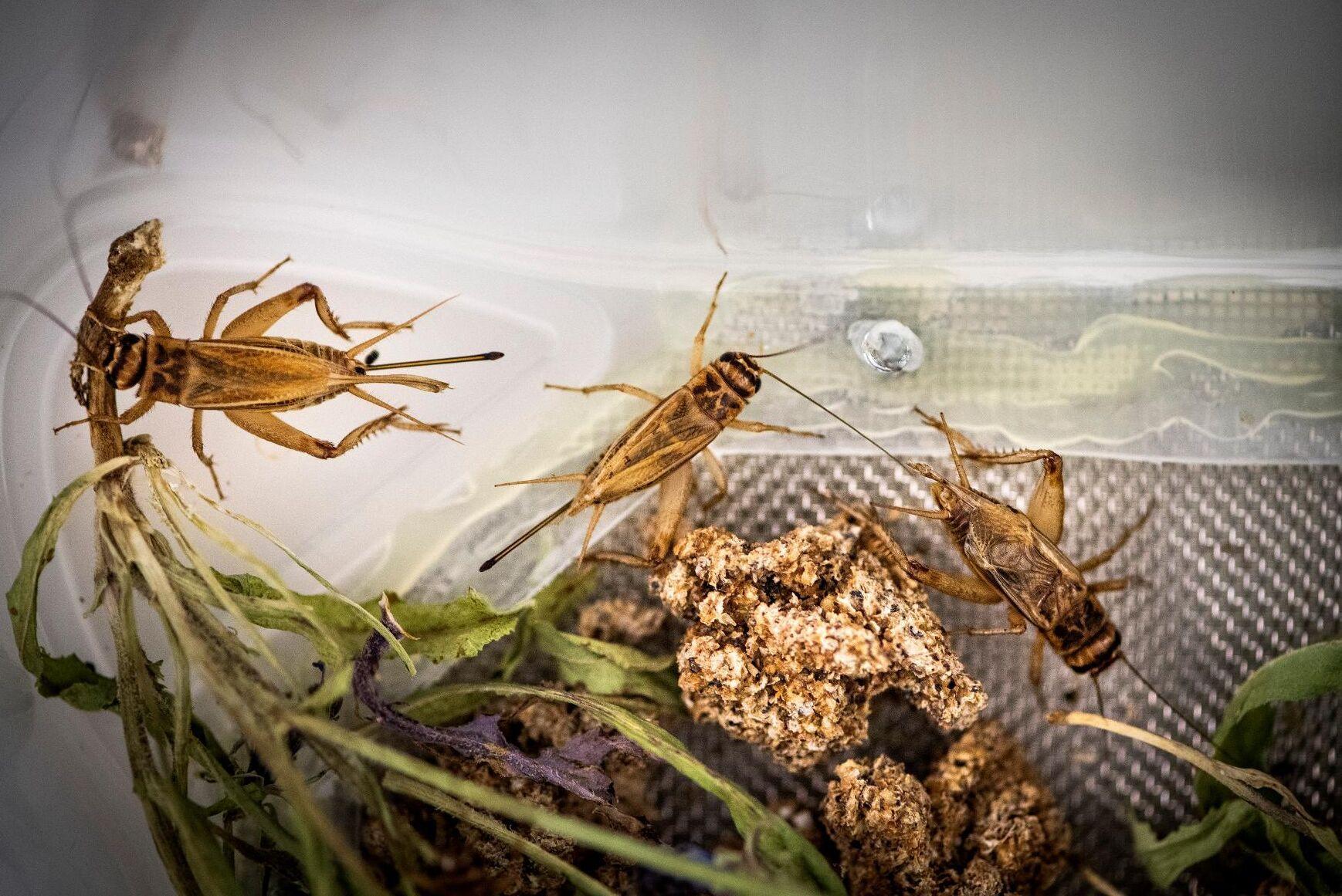 Syrsor innehåller höga nivåer av protein och mineraler, och produktionen av insekter sätter ett mindre fotavtryck på klimatet än köttproduktion.