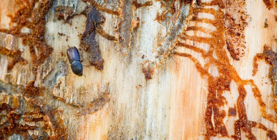 Granbarkborren kan ställa till med skada även i år, Skogsstyrelsen uppmanar skogsägare att ta bort vindfällen snabbt för att undvika angrepp.