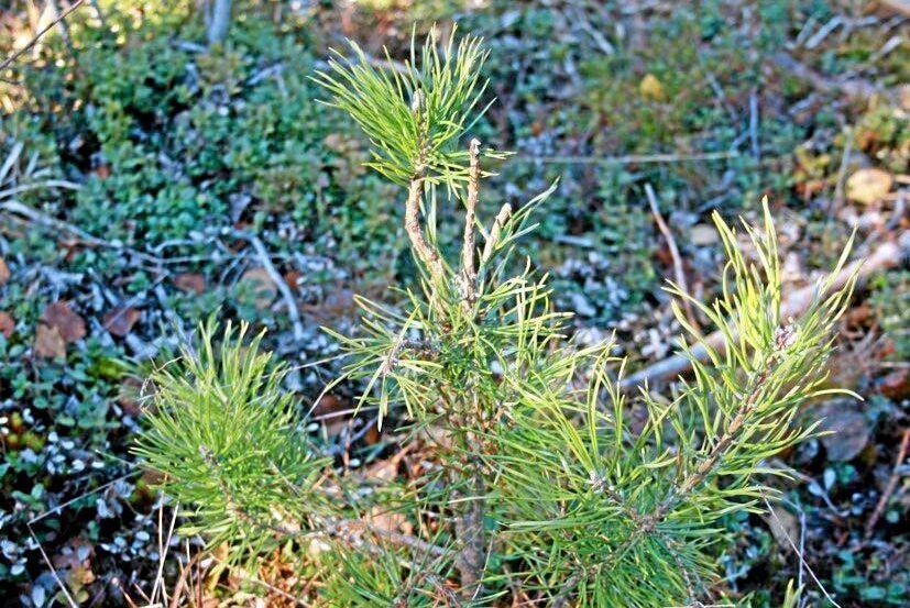 Rådjursbetningen av tallplantor ökar snabbt i södra Sverige.