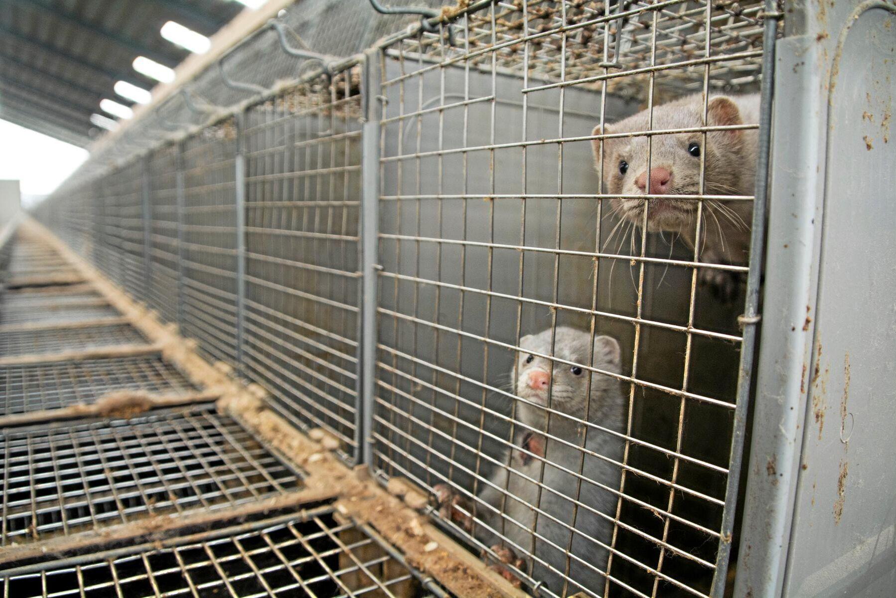 Att pälsdjursuppfödning skulle förbjudas var ett krav från det liberala partiet Venstre i regeringsförhandlingarna med konservativa Høyre.
