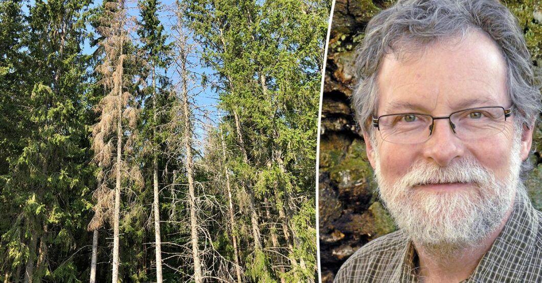 Gunnar Isacsson, expert på insekter och skogsskador på Skogsstyrelsen, hur du bäst fångar barkborrarna.