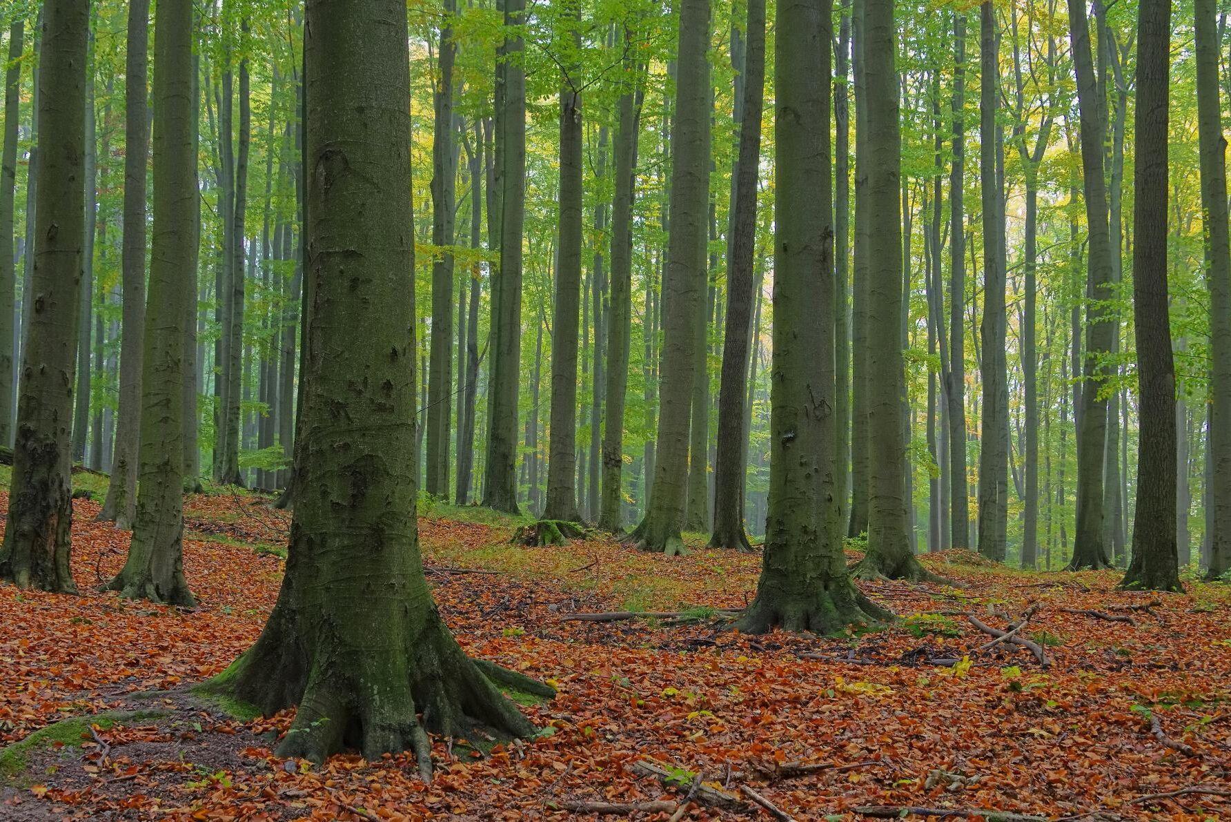 57 procent av skogen i Danmarks skogar lövskog, och när regeringen stoppar all avverkning på 16 000 hektar innebär det problem för exempelvis boksågverk. (Arkivbild)