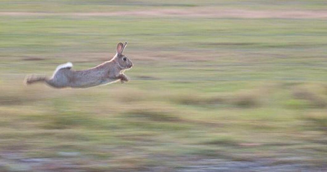 Kaningulsoten drabbar både vilda och tama kaniner men nu finns vaccin tillgängligt.