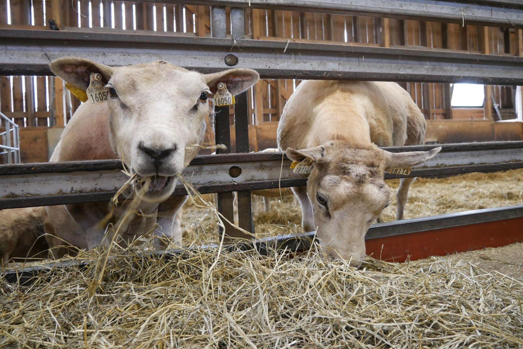 Det råder optimism inom den svenska lammbranschen.