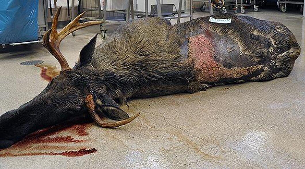 Sedan 2015 har Statens veterinärmedicinska anstalt, SVA, fått allt fler rapporter om älgar, främst tjurar, som har angripits av hjortlusflugan, även kallad älgflugan.