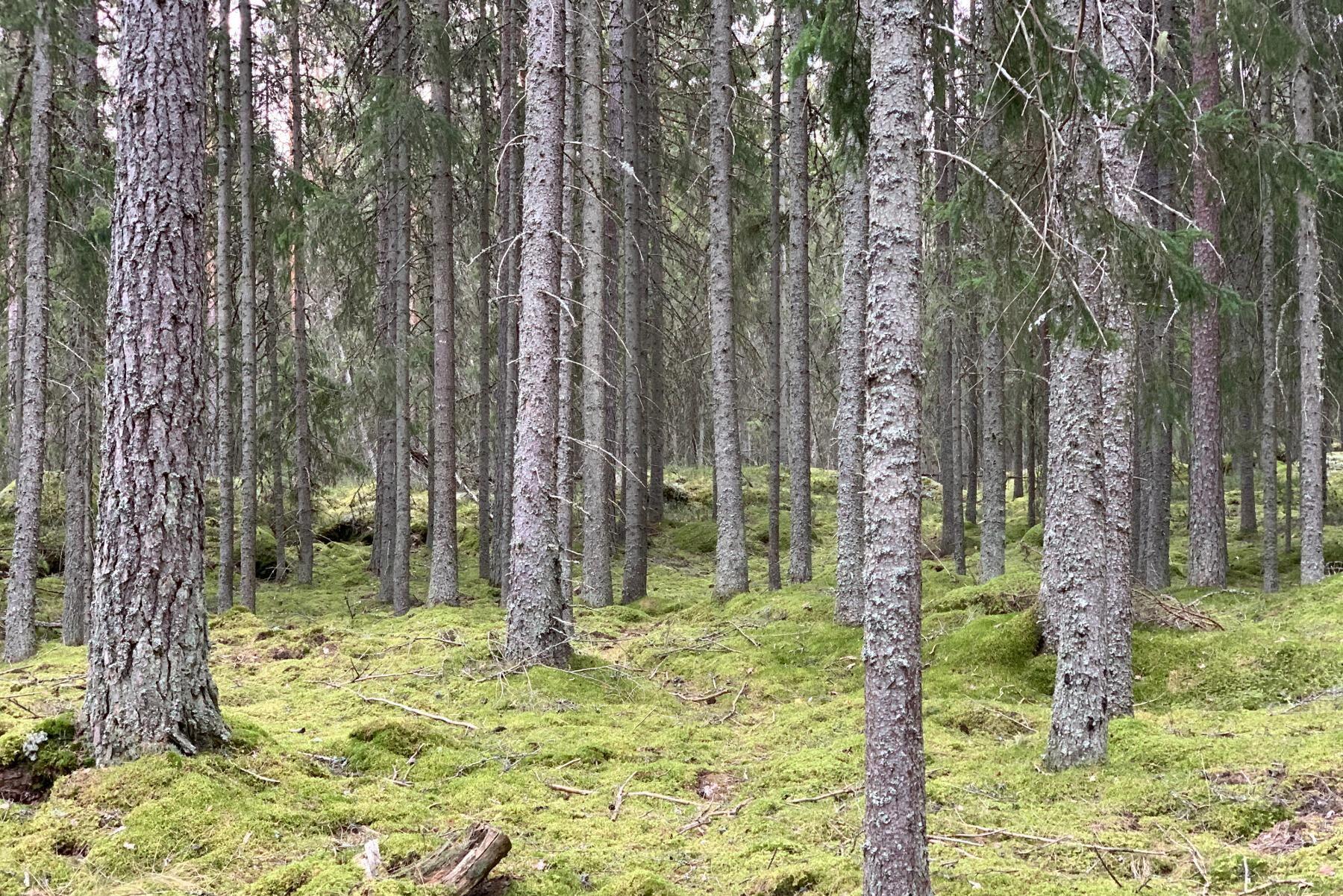 80 procent av den talldominerade skogen är under sextio år, och tillväxten beräknas till 5000 kubikmeter per år.