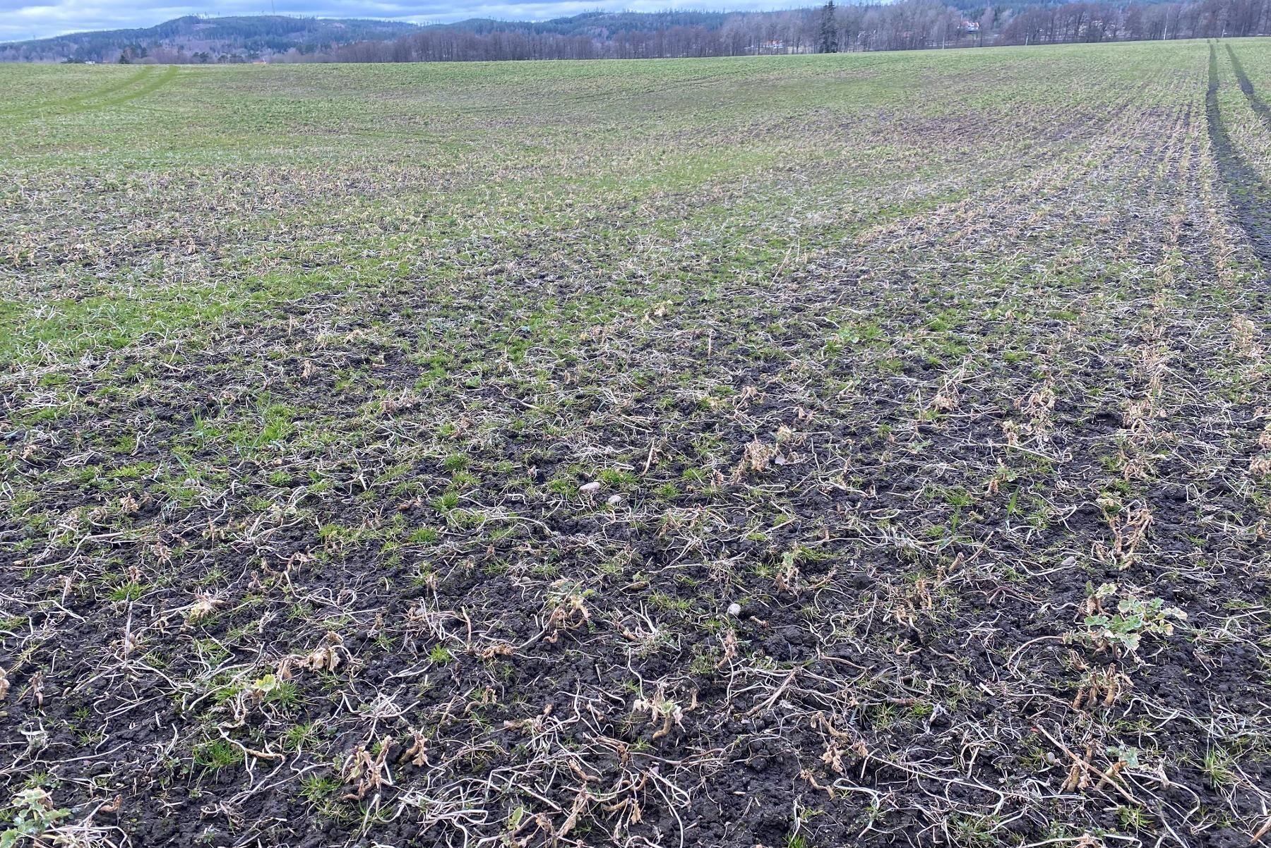 Fält i Västra Götaland med utbredda angrepp av klumprotsjuka.