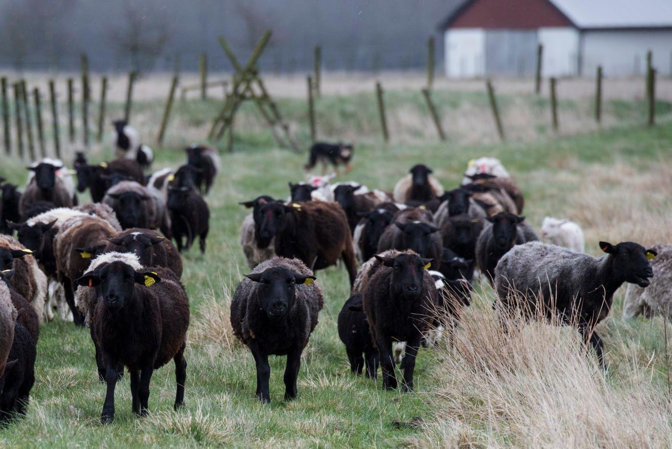 Nu vill svensken ha mer lammkött från svenska gårdar. Arkivbild.