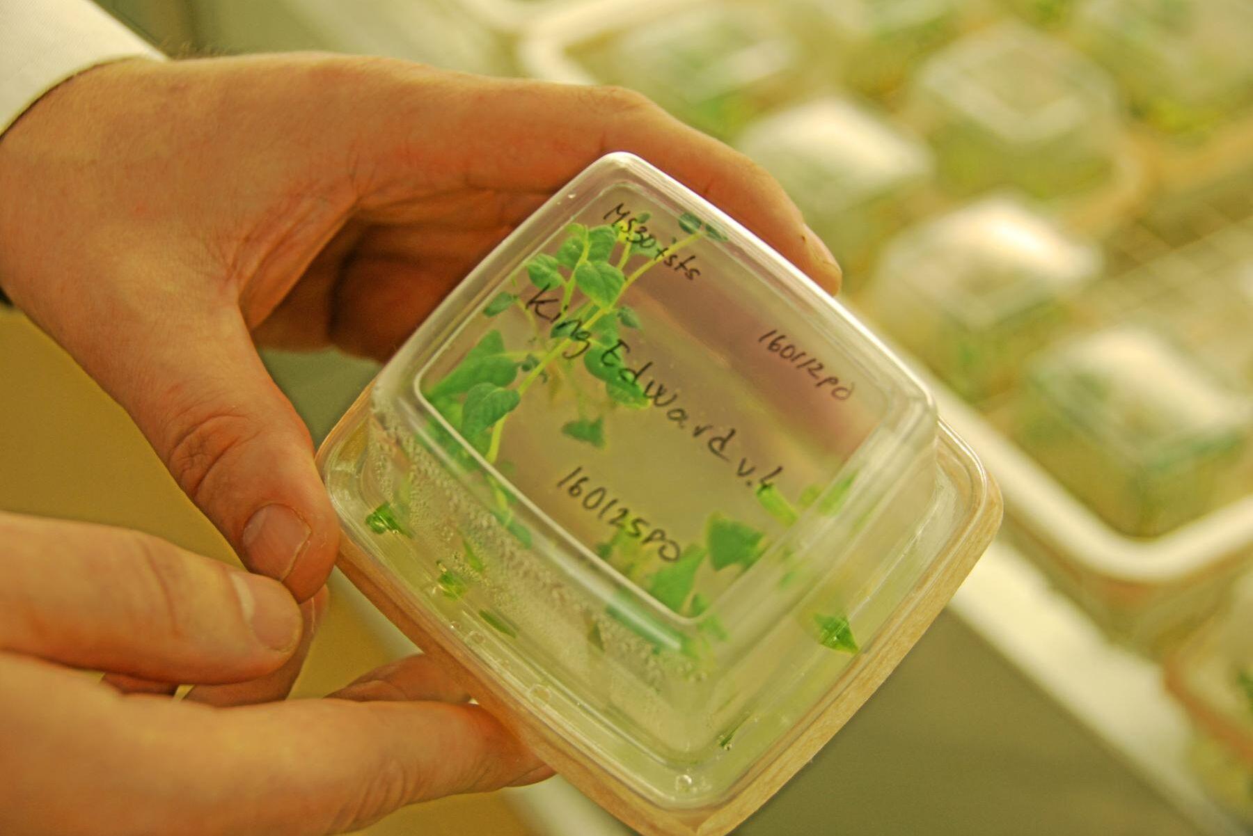 På SLU har man använt genredigering för att ta fram en potatis som är motståndskraftig mot bladmögel. Arkivbild.