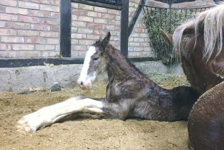 Redan den 5 januari föddes Herkules Omega, ett hingstföl av rasen Clydesdale. Stuteriet vill gärna få fölen i januari eller februari.