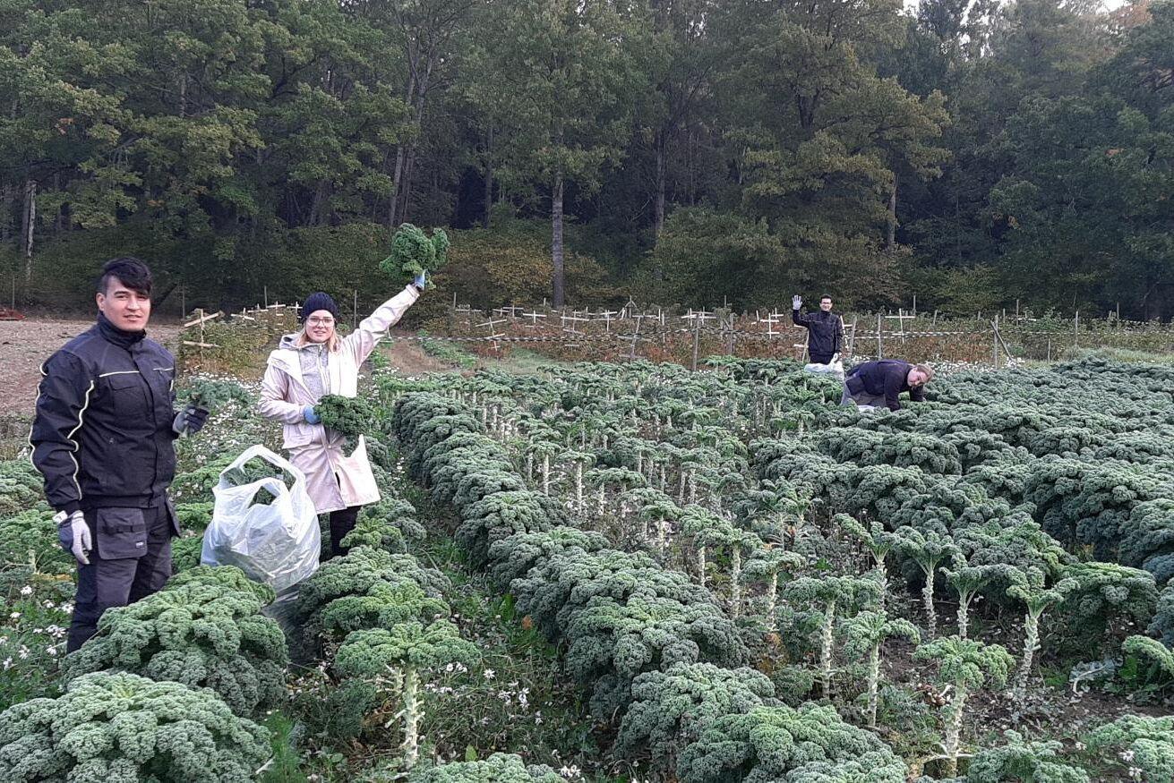 Kunder får även komma och själv plocka grönkål som odlas på cirka 1,5 hektar.