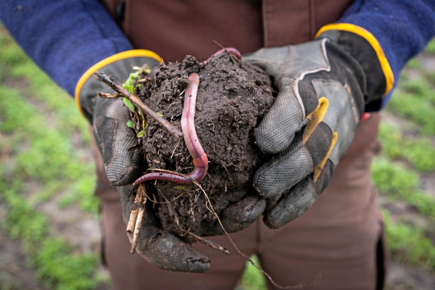 """Kräligt som tusan. Nu har maskarna tagit över. Det finns inte längre plats för växternas rötter i jorden. Nu gäller det att """"effektivt reducera populationen av dessa slemmiga rothårsgnagare"""" tycker en person i en FB-grupp för Conservation Agriculture."""