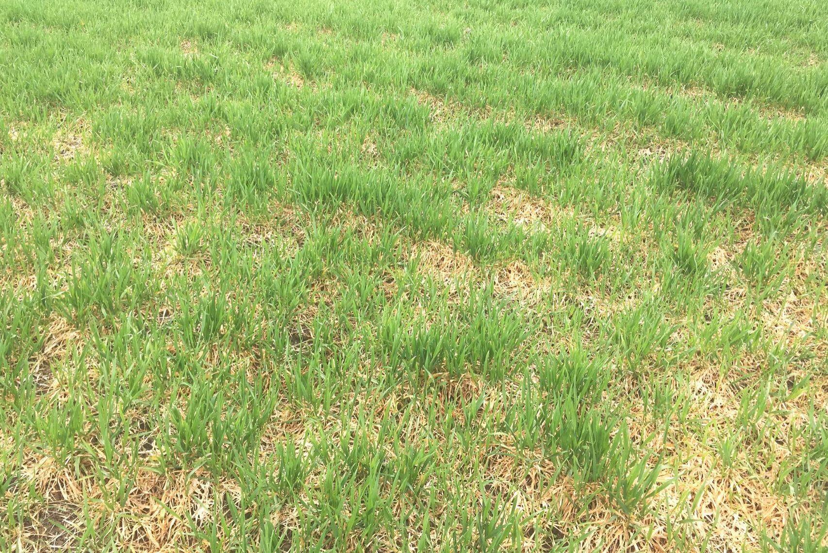 Tidig sådd kan gynna svampsjukdomar eftersom bestånden ofta blir frodiga. Bilden visar angrepp av snömögel på våren i höstvete sått i augusti.