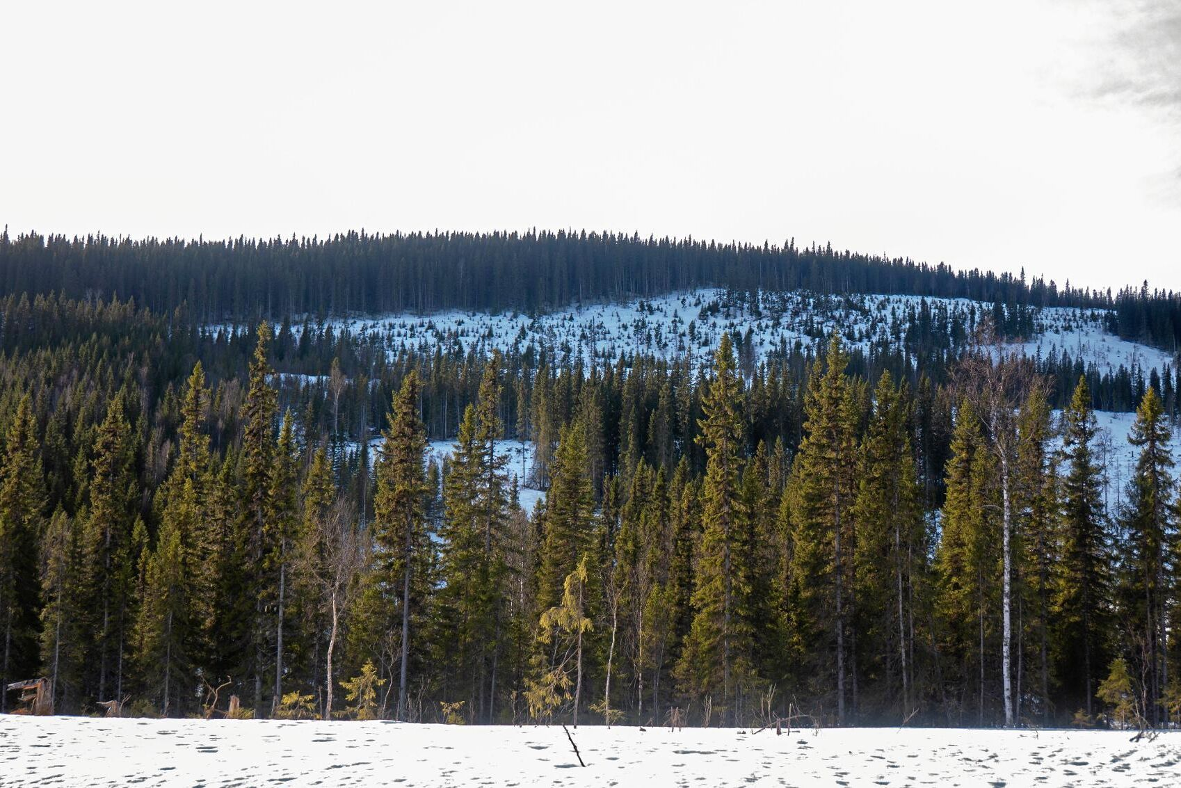 Den fjällnära skogen är ett tvisteämne (arkivbild).