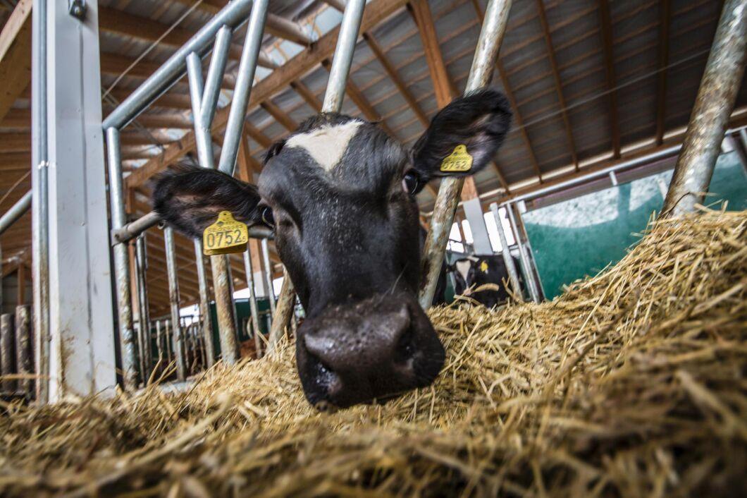Holstein är vanligast och ökar mest både i antal och avkastning.