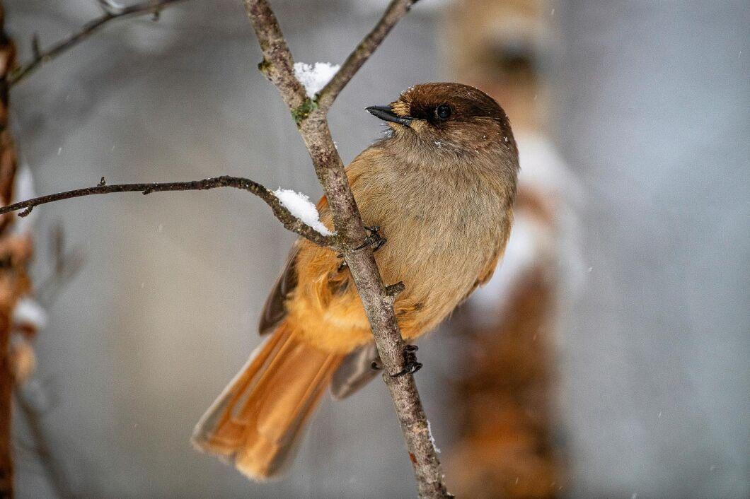 Lavskrika – fågeln som lett till en utdragen avverkningshärva.