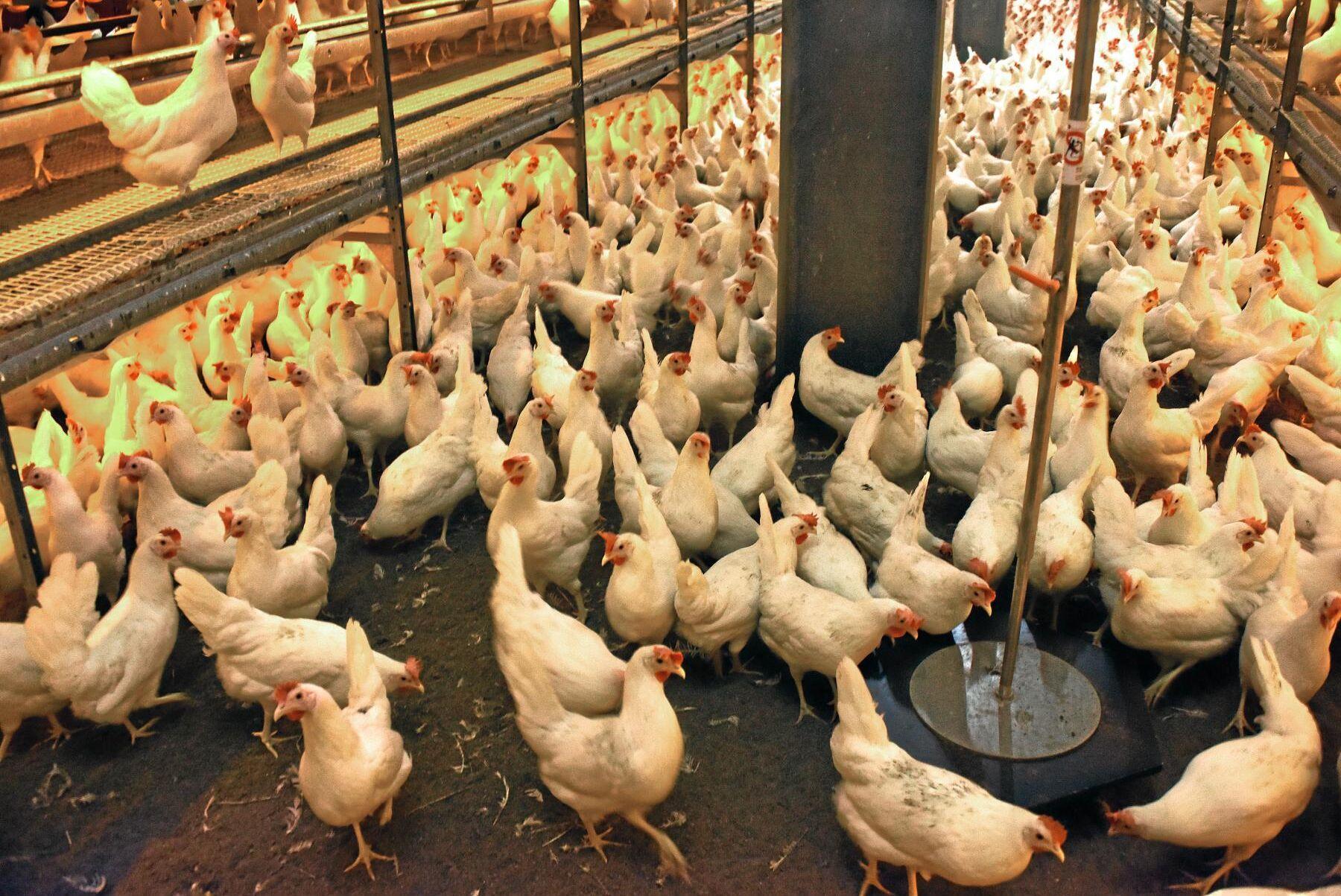 Får EU-parlamentets jordbruksutskott bestämma blir frigående höns det enda tillåtna systemet för äggproduktion i EU (arkivbild).