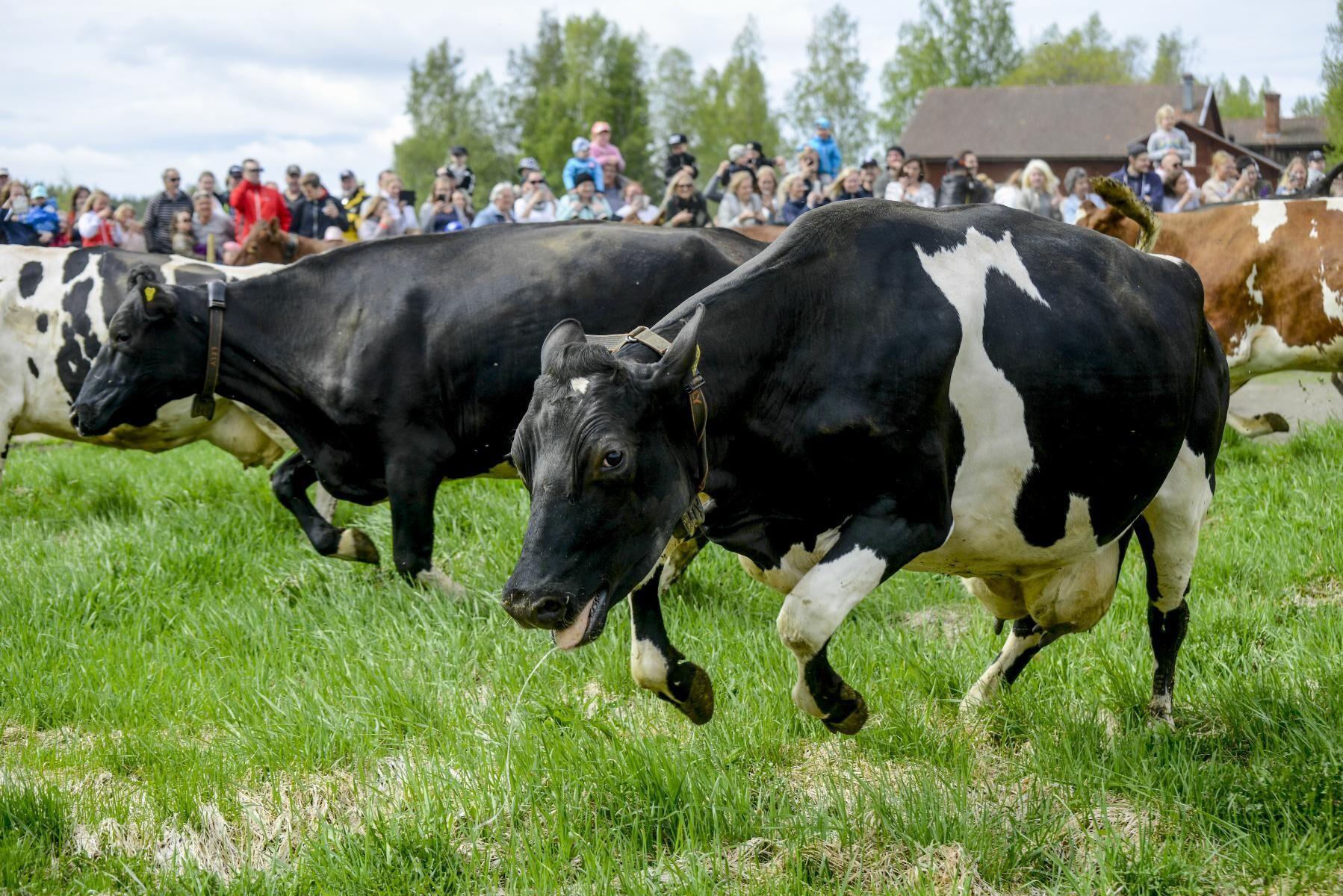 I år släpps korna i Gästrikland ut utan publik.