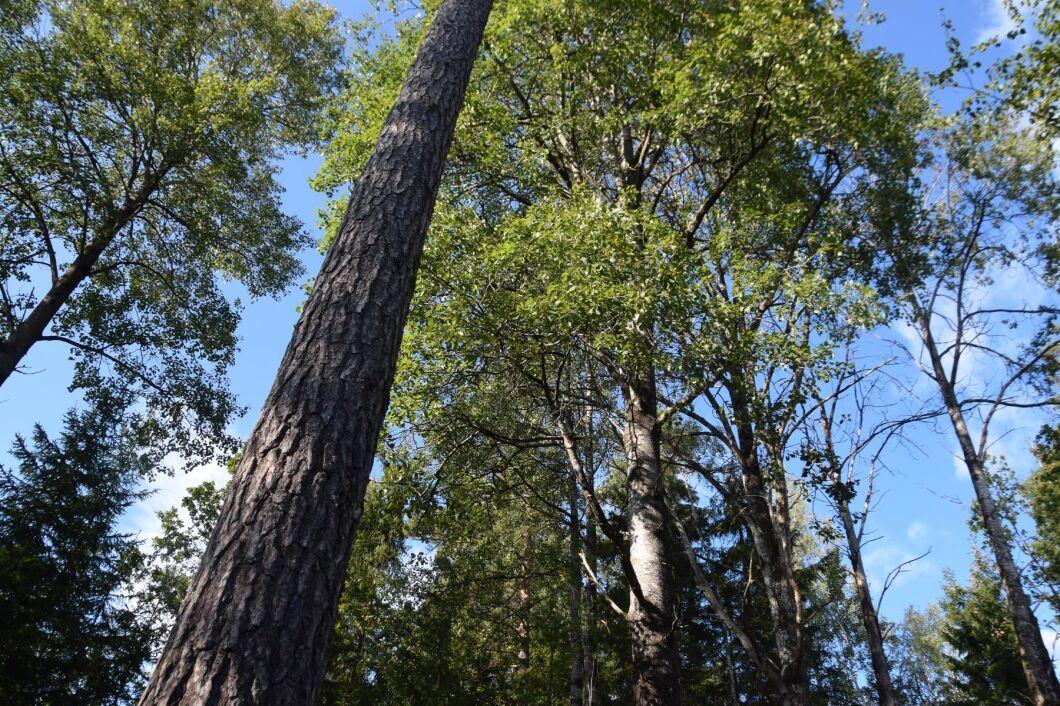 Enligt Skogsstyrelsen skulle träden sparas och enligt länsstyrelsen skulle de tas ned. 23 veckor tog det för myndigheterna att ge klara besked om Peter och Anette Glänneruds avverkningsanmälan.