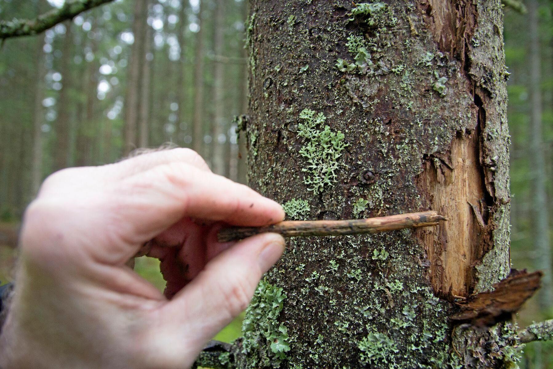 En tysk studie visar att mer blandad skog ger mindre insektsangrepp på vanlig gran. Men samtidigt ökar angreppen istället på andra barrträd.